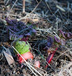 Rhubarb // På gång i grönsakslandet - Rabarber