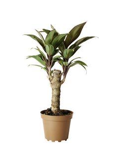 Mini Grønnplanter Høyde 10 cm | Plantasjen Green Plants, Flower Decorations, Mini, Flowers, Floral Decorations, Flower Decoration, Floral, Royal Icing Flowers, Foliage Plants