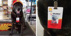 Questo cane è stato assunto nella stazione di servizio in cui era stato abbandonato