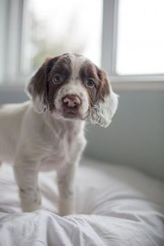 Springer Spaniel Puppy Whooper Hill Dodge The Dash
