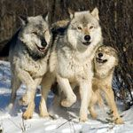Wolf Quiz: Carnivores: Animal Planet