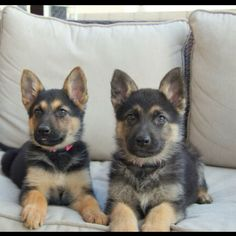 German shepherd puppies- our Max and his sister who also got adopted. Choose rescue