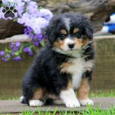 Mini Bernedoodle Puppy in Narvon, PA