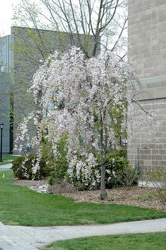 Click to view full-size photo of Double Pink Weeping Higan Cherry (Prunus subhirtella 'Pendula Plena Rosea') at Echter's Nursery & Garden Center