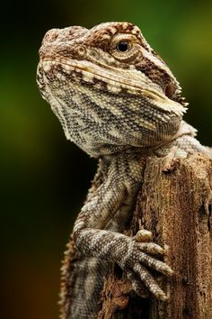 What Do Bearded Dragons Eat? - This post is about one of the most popular lizards in the pet trade – the bearded dragon. Les Reptiles, Reptiles And Amphibians, Cute Baby Animals, Animals And Pets, Crocodile, Lizard Dragon, Dragon Lady, Bearded Dragon Diet, Chameleon Lizard