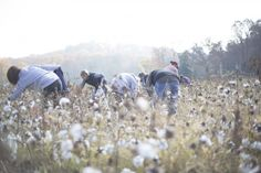 In mid-October of 2012, several volunteers converged on a North Alabama field to pick a crop of organic cotton...then they ate barbeque and smiled (photo by Rinne Allen).