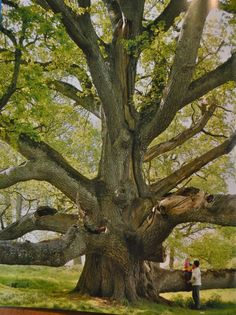 a King Oak, Tullamore, Ireland - home of Charlesville Caslte built in Ireland's most ancient primordial oak woods, once the haunting grounds of druids