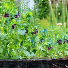 VOKSURT - Cerinthe major purpurascens