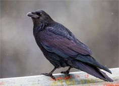 "GOODNESS Gracious, what a GLORIOUS Photo of Raven!! ""Iridescent raven"" - © Christopher Martin"