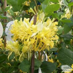 Buy Lonicera periclymenum 'Scentsation' (Honeysuckle) in the UK Flax Flowers, Yellow Flowers, Buy Plants, Shade Plants, Beautiful Gardens, Beautiful Flowers, Honeysuckle Cottage, Cranesbill Geranium, Bushes And Shrubs