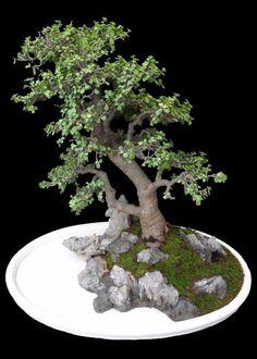 Jade Plant Bonsai, Juniper Bonsai, Jade Plants, Bonsai Plants, Bonsai Trees, Bonsai Pruning, Plantas Bonsai, Indoor Bonsai, Tree Designs