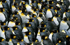 King #Penguins on South Georgia Island. Photo by Daniel J. Cox.   #Travel #Cruise #Seabourn