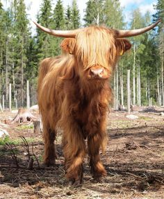 Highland cattle in Finland it looks like Twix.