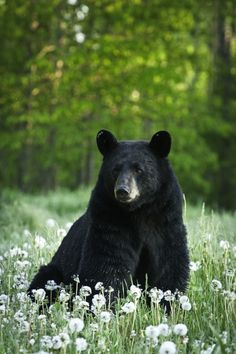 Black Bear and the wildflowers dandelions