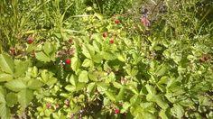 #ahomansikat omalla pihalla #kesä #luonto #piha #Puruvesi  #Punkaharju #Suomi #houseforsale #Finland #summer #garden