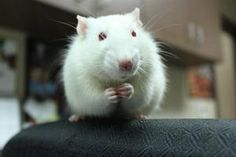 Mozart - male adult Rat in Appleton, WI. Mozart was surrendered to the shelter because the previous owner had too many animals. He is friendly and well-socialized, and would be a great pet for any family. Adoption fee: $5