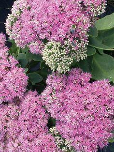 Plants that Thrive in Clay Soils - Finding Sea Turtles Sedum Plant, Sage Plant, Hosta Plants, Garden Plants, Hardy Perennials, Flowers Perennials, Planting Flowers, Clay Soil Plants, Indigo Plant