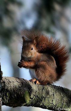 Scoiattolo-Squirrel (by carlo galliani on Flickr)