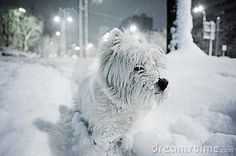 West White Terrier.