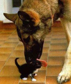cute dog licks kitten pic