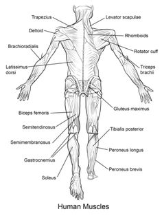 Human skeleton printables also anatomy printables science great website with free biology diagrams to print andor color human muscles back view ccuart