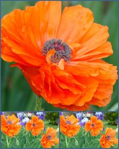 Spring Poppies photo by Joy Fussell