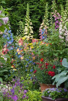 Digitalis, Delphinium, hosta, red Dianthus in pot container, ageratum, aquilegia, alchemilla, achillea , geranium, euphorbia, in colorful spring garden with lots of different kinds of plants