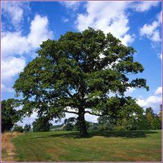 oak trees  backyard