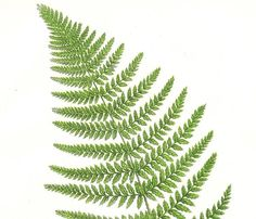 Broad prickly toothed fern - antique fern print