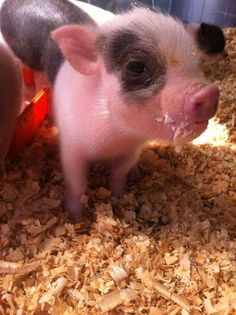 This Little Piggy, Little Pigs, Micro Mini Pig, Teacup Piglets, Pig Pics, Tiny Pigs, Cute Baby Pigs, Baby Animals, Cute Animals