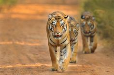 Choti Tara leading her 8 months old Cubs Photo by J Venkat -- National Geographic Your Shot
