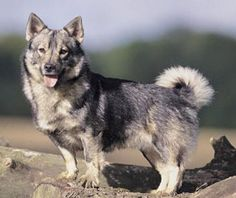 please comment, or whatever ! Wolf Corgi, Animals And Pets, Cute Animals, Rare Dog Breeds, Dapple Dachshund, Corgi Mix, A Husky, Rough Collie, Beautiful Dogs