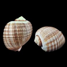 Deltona Seashells & Gifts - TONNA OLERIA/CEPA SHELL (EA) (GIANT TUN) (SMALL) - for the exotics