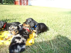 our mini longhair Dauschund pups at one month, born on the 4th of July