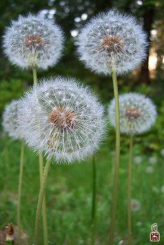 dandelions blow and make a wish. Dandelion Clock, Dandelion Wish, Dandelion Flower, White Flowers, Beautiful Flowers, Beautiful Pictures, Make A Wish, Mother Nature, Scenery