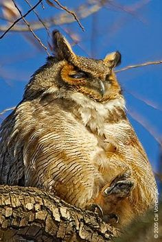Ramble Great Horned Owl