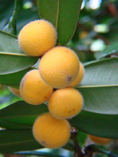 """Cabelluda - Yellow Jaboticaba (Myrciara glomerata) is a bush tree fruit and has…"