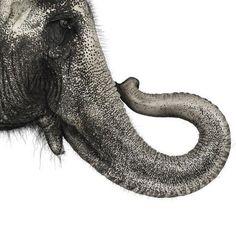 Andrew Zuckerman - Asian Elephant from Creatures series Elephant Ride, Elephant Trunk, Elephant Art, Andrew Zuckerman, Animals Beautiful, Cute Animals, Wild Animals, Water For Elephants, Asian Elephant