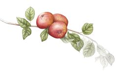 Ботанические иллюстрации Mally Francis, Англия. Обсуждение на LiveInternet - Российский Сервис Онлайн-Дневников