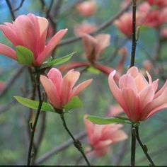 Coral Lake Magnolia. Ordered it!