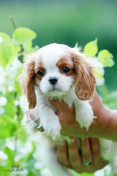 Sweet Cavalier King Charles Spaniel Puppy