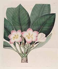 100399 Plumeria rubra L. [as Plumeria tricolor Ruiz & Pavon]  / Botanical Register, vol. 6: t. 510 (1820) [M. Hart]