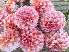 Cut Flowers, Dahlia Flowers, Dahlias, September Flowers, Cut Flower Garden, Wedding Flowers, Succulents, Peaches, Rose