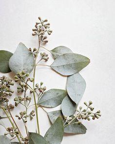Eucalyptus Botanical Print, Nature Photography, Sage Green Wall Art, White Wall Art - Eucalyptus Sprig Six Plant Aesthetic, Nature Aesthetic, White Aesthetic, Green Wall Art, White Wall Art, Sage Green Walls, Sage Color, Colour, Green Nature