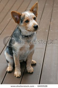 i will have a puppy heeler one of these days!