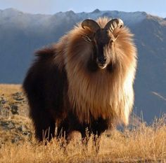 Finally, a real goat with a mane <3 A male Himalayan Tahr (Ravis lusus) found in India.