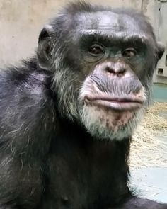 19 CHIMPS RETIRED AT LAST : This is Theo, 23 years old, and he was recently retired along with 18 other chimps that spent decades in research labs in New Mexico, to Chimp Haven Sanctuary in Louisiana thanks to the support of a $85,500 grant from the New Mexico Community Foundation's Chimpanzee Sanctuary Fund.