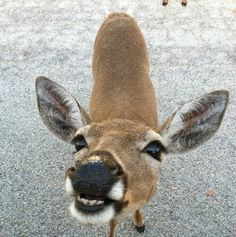 Key Deer, Big Pine Key, FL