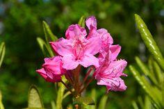 Ilta-auringon rhodo | Vesan viherpiperryskuvat – puutarha kukkii