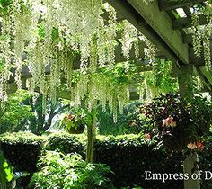Easy DIY Home Decor Crafts: Magnificent Wisteria-Easy Pruning For Spectacular ...